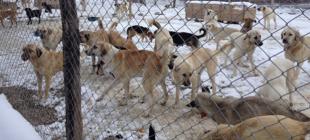 Kütahya'da köpekler birbirini yedi iddiasına soruşturma açıldı